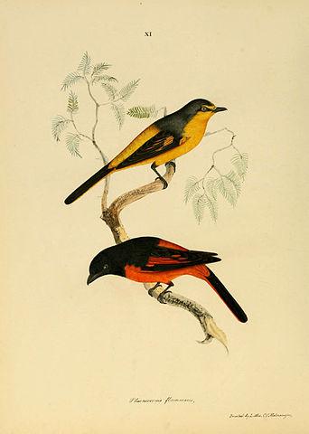 342px-Phaenicornis_flammeus_Fiery_Red_Bird_Male_and_Female