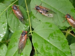 Cicadas Emerge in Eastern USA