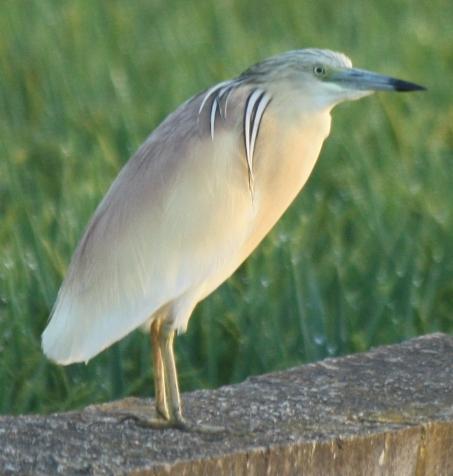 Ocells marjal
