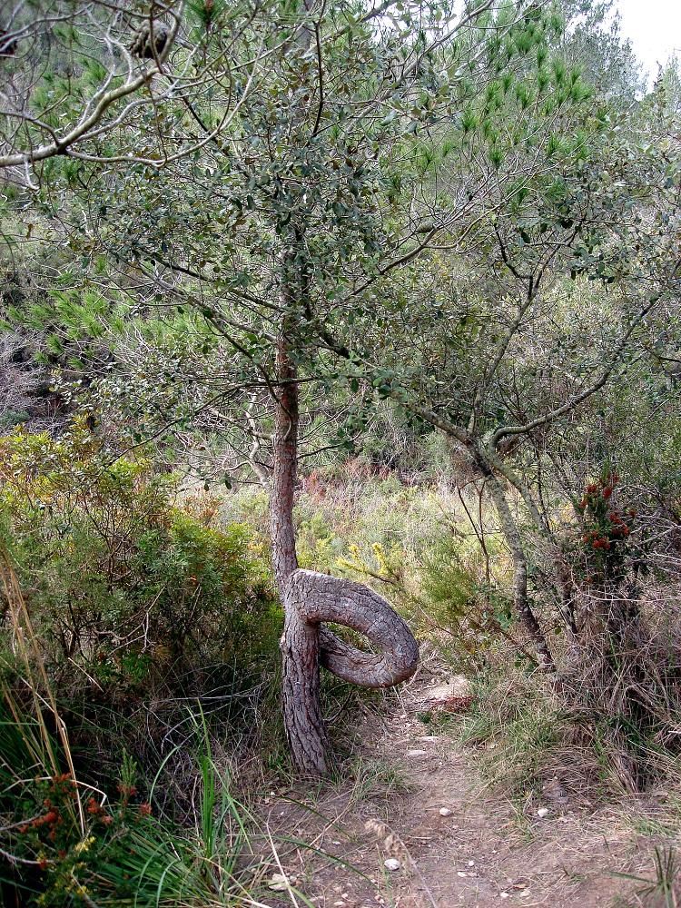 Un arbre curiós en plena pujada cap a Cal Balaguer
