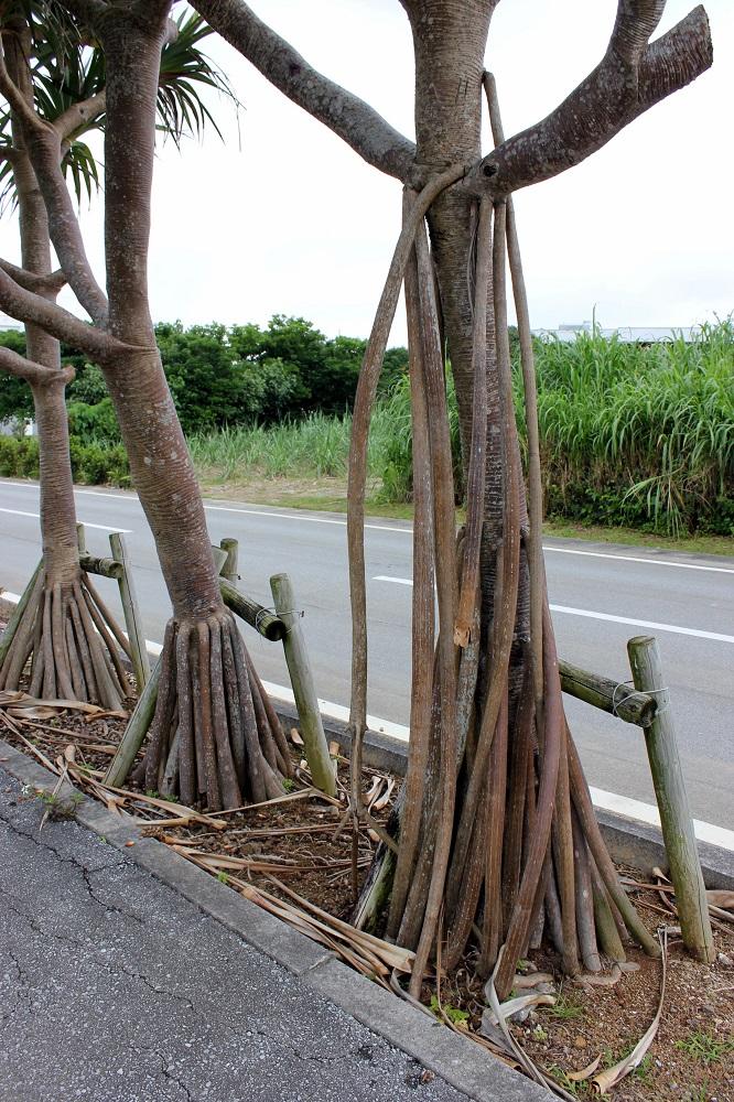 Curiosos arbres amb arrels que sorgeixen de la soca