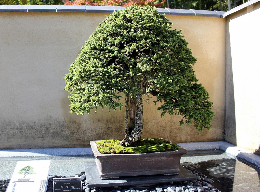 Bonsai de 300 anys