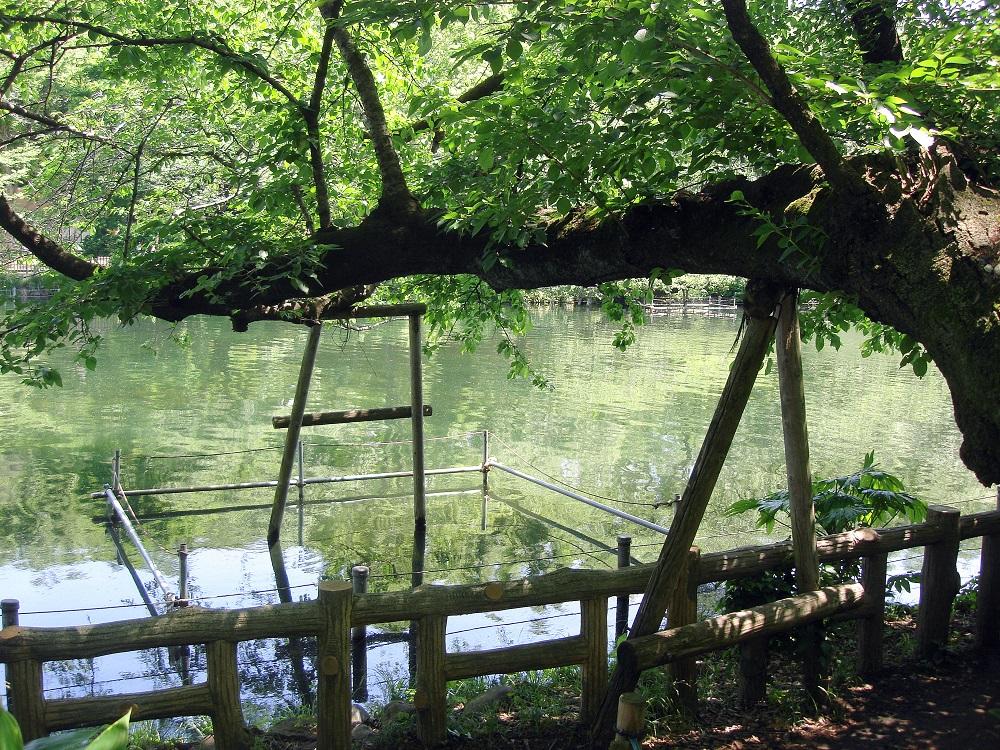 En alguna casos, per evitar que les branques arribin a l'aigua o als camins, se les aguanta amb suports com aquests