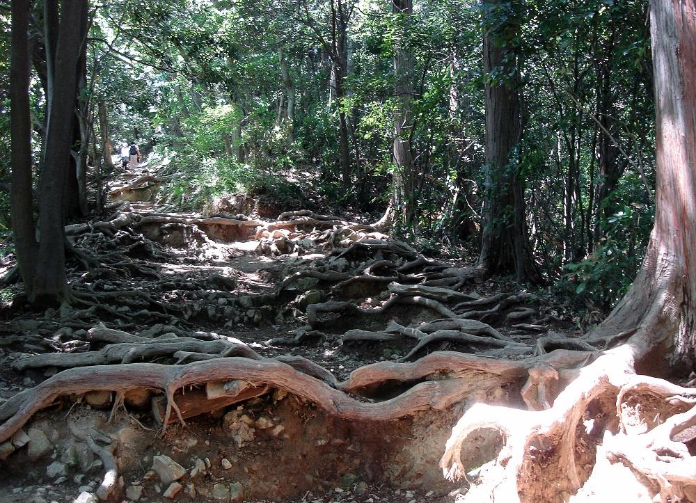 El sender està farcit d'arrels d'arbres al descobert, sens dubte producte de l'erosió