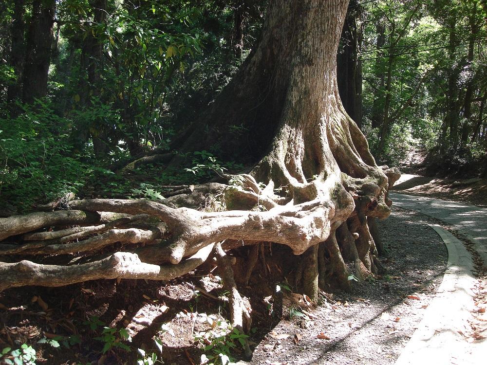 Més arbres enormes amb part de les arrels al descobert. Són tant llargues i profundes que no hi ha perill de caiguda