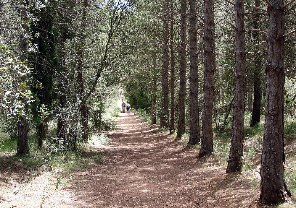 Una sorpresa al mig del bosc: pins molt ben arrenglerats franquejant el camí