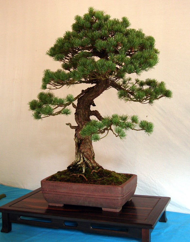 Detall de l'exposició de bonsais