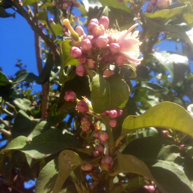 De la flor del mandariner