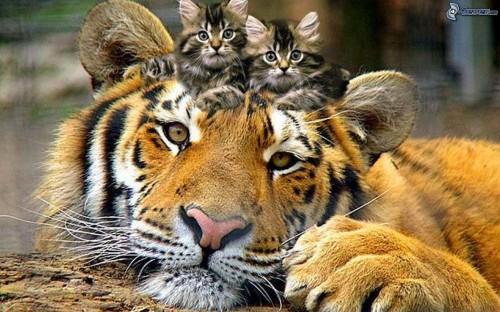 tigre,-gatitos-167017