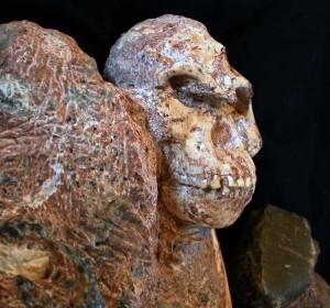 sn-Australopithecus